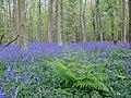 Bluebells in Nine Acre Wood - geograph.org.uk - 1306692.jpg