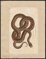 Boa cenchris - 1700-1880 - Print - Iconographia Zoologica - Special Collections University of Amsterdam - UBA01 IZ11900081.tif
