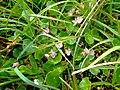 Bog pimpernel (Anagallis tenella) - geograph.org.uk - 897419.jpg