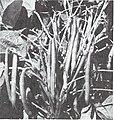 Bolgiano's spring 1969 (1969) (19768502614).jpg