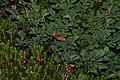Boloria montinus 5600.JPG