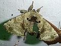 Bombycidae, Apatelodinae. Apatelodes species. Silkworm Moth - Flickr - gailhampshire.jpg