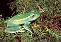 Boophis luteus septentrionalis01.jpg