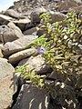 Boraginaceae Djibouti.jpg