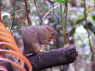 Mount Kinabalu - A mountain squirrel, Sundasciurus tenuis, from Mount Kinabalu.