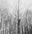 Bosbewerking, arbeiders, boomklimmen, Bestanddeelnr 251-9046.jpg