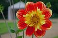 Botanischer Garten Uni Bonn - Dahlia x hortensis cv. Pooh.jpg