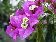 Bougainvillea glabra.JPG