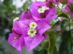 240px bougainvillea glabra