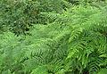 Bracken ferns - Pteridium aquilinum.jpg