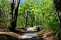 Brand new leaves at this Beechallee at Doorwerth at 2 May 2015 - panoramio.jpg