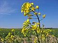 Brassica napus flower.jpg