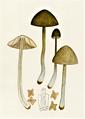 Bresadola - Nolanea staurospora.png