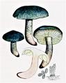 Bresadola - Tricholoma saponaceum.png