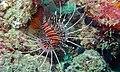 Broadbarred Firefish (Pterois antennata) (6103400856).jpg