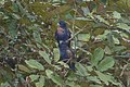Bronze-winged Parrot 2015-06-07 (1) (25447734467).jpg