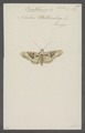 Brotolomia - Print - Iconographia Zoologica - Special Collections University of Amsterdam - UBAINV0274 057 06 0006.tif