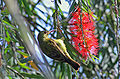 Brown-throated Sunbird female.jpg