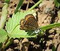 Brown Argus. Aricia a. aegestis (44810559962).jpg
