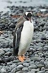 Brown Bluff-2016-Tabarin Peninsula–Gentoo penguin (Pygoscelis papua) 02.jpg
