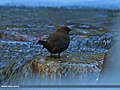 Brown Dipper (Cinclus pallasii) (16406782335).jpg