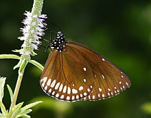 Brown King Crow (Euploea klugii) (6318696296).jpg