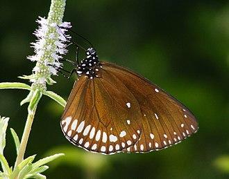 Euploea klugii - Image: Brown King Crow (Euploea klugii) (6318696296)