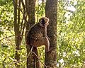 Brown Lemur (Lemur fulvus) (8604205554).jpg
