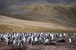Brown Skua flies over a Gentoo Penguin colony (5751657854).jpg