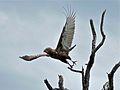 Brown Snake-eagle (Circaetus cinereus) (6045226628).jpg