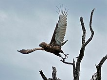 Brown Snake-eagle (Circaetus cinereus) (6045226628).jpg