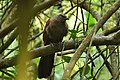 Brown coucal.JPG