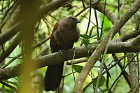 Brown coucal