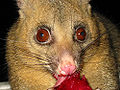 Brushtail with fruit 2.jpg