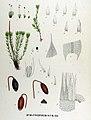 Bryum atropurpureum — Flora Batava — Volume v17.jpg
