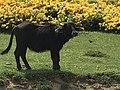 Bubalus bubalis - Water buffalo 03.jpg