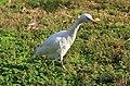 Bubulcus ibis R02.jpg