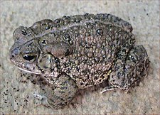 Bufo woodhousii.jpg