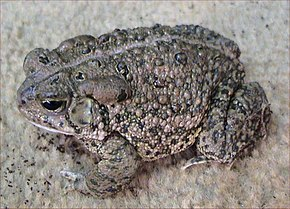 Description de l'image Bufo woodhousii.jpg.