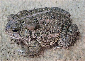 Anaxyrus - Woodhouse's toad (Anaxyrus woodhousii)