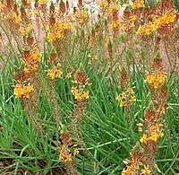 Bulbine frutescens 2