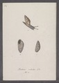 Bulimus radiatus - - Print - Iconographia Zoologica - Special Collections University of Amsterdam - UBAINV0274 088 11 0009.tif