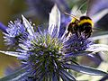 Bumblebee on Sea Holly.jpg