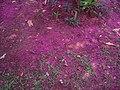 Bunga jambu yg gugur september 18.jpg