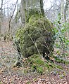 Burr or Crown Gall tumour on beech, Anderson Plantation, Lainshaw Woods, East Ayrshire.jpg