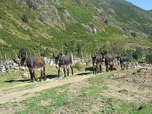 Zamorano-Leonés - Image: Burros leoneses