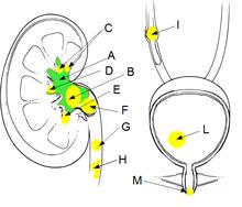 calcoli nella prostata e nella vescica disease pdf