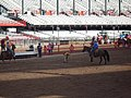 CFD Team Roping - Released steer running away to exit.jpg