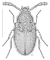 COLE Mycetophagidae Zeclaviger explanatus.png