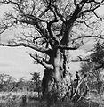 COLLECTIE TROPENMUSEUM Een baobab in de omgeving van Livingstone TMnr 20014772.jpg